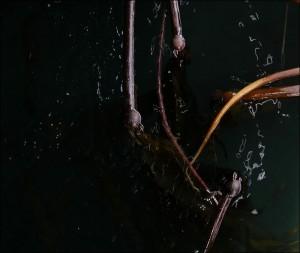 grimanesa-amoros-rootless-algas-1